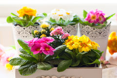 Primula flowers in pots Royalty Free Stock Image