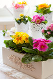 Primula flowers in pots Stock Photo