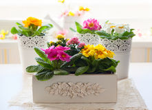 Primula flowers in pots Stock Image