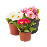 Primula in pot isolated. Primula flowers in pots isolated on white stock photography