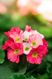 Primula flowers Stock Image