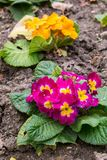 Primula flwers on ground in flowerbed Royalty Free Stock Image