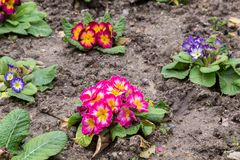 Primula flwers on ground in flowerbed Royalty Free Stock Photography