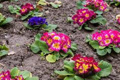 Primula flwers on ground in flowerbed Stock Photo