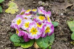 Primula flwers on ground in flowerbed Royalty Free Stock Photo