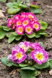 Primula flwers on ground in flowerbed Stock Photos