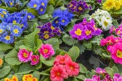 Primula färgrika vårblommor Arkivfoto