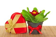Primula, gift box of heart on the bamboo cloth Royalty Free Stock Image