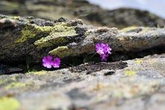 Primula Hirsuta zwischen den Felsen Lizenzfreie Stockfotografie