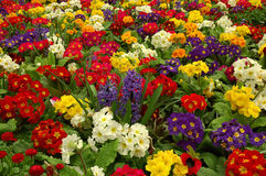 Primula with Hyacinth Royalty Free Stock Images