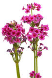 Primula japonica Stock Photography