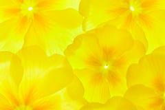 Primula jaune Photo stock