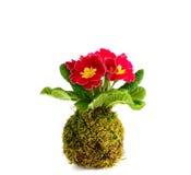 Primula Kokedama vulgaris Стоковое Изображение