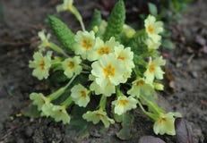 Primula koloru żółtego kwiaty Fotografia Royalty Free