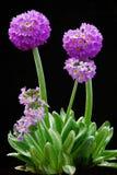 Primula kugelförmig (serrulate) stockfotografie
