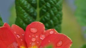 Primula kwiat z wodnymi kroplami obraz royalty free