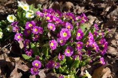 Primula kwiatu menchie Zdjęcie Royalty Free