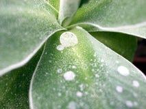 Primula leaf Royalty Free Stock Image