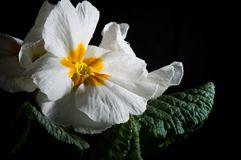 Primula lub pierwiosnkowy kwiat z wodnymi kroplami, makro- zdjęcie royalty free