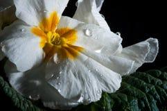 Primula lub pierwiosnkowy kwiat z wodnymi kroplami, makro- obraz royalty free