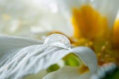 Primula lub pierwiosnkowy kwiat z wodnymi kroplami, makro- zdjęcia stock