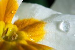 Primula lub pierwiosnkowy kwiat z wodnymi kroplami, makro- zdjęcie stock