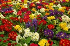 Primula met Hyacint Royalty-vrije Stock Afbeeldingen