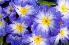 Primula-Meteor-Flora Lizenzfreies Stockfoto