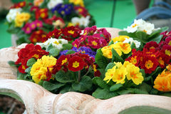 Primula mix colors Stock Image