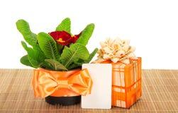 Primula na bambusowym płótnie, prezenta pudełku i karcie, Zdjęcie Stock