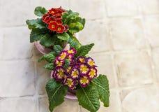 Primula Nauszni kwiaty odosobniony obrazy royalty free