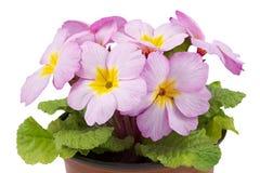 Primula no potenciômetro de flor Foto de Stock
