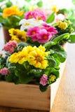 Primula no potenciômetro de flor Foto de Stock Royalty Free