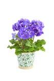 Primula Obconica Royalty-vrije Stock Foto's