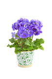 Primula Obconica Royalty Free Stock Photos