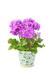 Primula Obconica Stock Photo