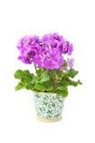 Primula Obconica Stock Photo