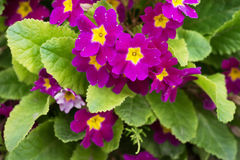 Primula Obconica, spring garden flowers. Blossom Stock Images
