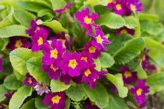 Primula Obconica, spring garden flowers. Blossom Stock Photos