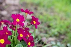 Primula Obconica, spring garden flowers. Blossom Stock Photo
