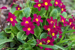 Primula Obconica, spring garden flowers. Blossom Royalty Free Stock Photo