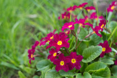 Primula Obconica, spring garden flowers. Blossom Royalty Free Stock Photography