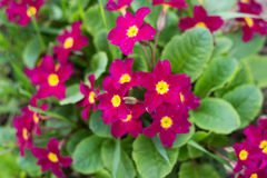 Primula Obconica, spring garden flowers. Blossom Royalty Free Stock Photos