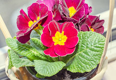 Primula obconica touch me, dark red with yellow flowers Stock Photo