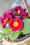 Primula obconica touch me, dark red with yellow flowers Royalty Free Stock Photo