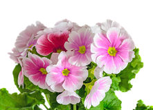 Primula obconica touch me, pink with white flowers, green leaves Royalty Free Stock Images