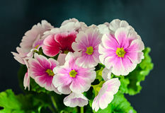 Primula obconica touch me, pink with white flowers, green leaves Royalty Free Stock Photos