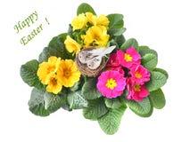 Primula och easter rede Royaltyfri Fotografi