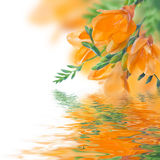 Primula och vatten för vår gul Royaltyfri Fotografi