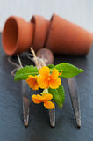 Primula with old garden fork and clay pots. Stock Photography